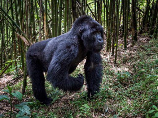 Rwanda & Uganda Gorilla Trekking
